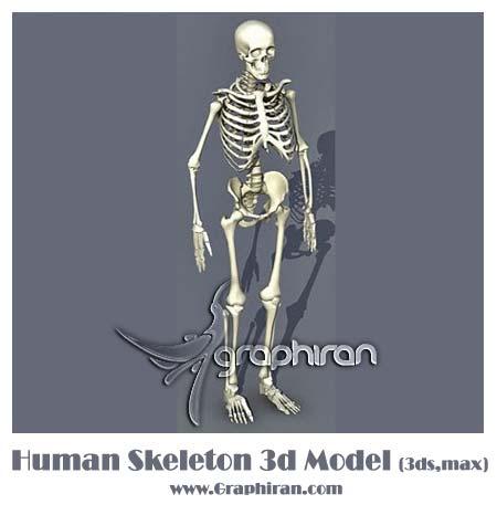 مدل 3 بعدی اسکلت انسان