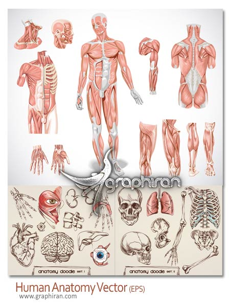 human anatomy1 وکتور تصاویر آناتومی عضلات و استخوان های بدن انسان   بخش دوم