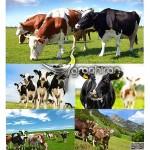 دانلود رایگان تصاویر شاتر استوک گاو Cows Stock Photo