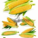 دانلود عکس های استوک بلال یا ذرت باکیفیت بالا Corn Stock Photo