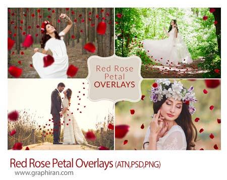 تصویر گلبرگ گل رز قرمز
