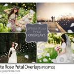 تصاویر پوششی گلبرگ گل رز سفید White Rose Petal Overlays