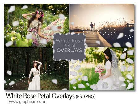 تصویر گلبرگ گل رز سفید