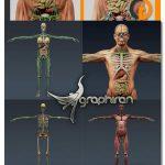 دانلود مدل سه بعدی آناتومی کامل بدن انسان Human Male and Female Complete Anatomy